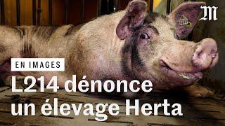 L214 diffuse des images accablantes d'un élevage porcin fournissant Herta