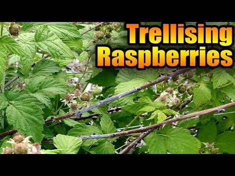 Trellising Raspberries