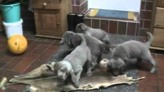 Longhair Weimaraner Puppies Vom Uhlsmeer - B-wurf Vom 25.10.2011