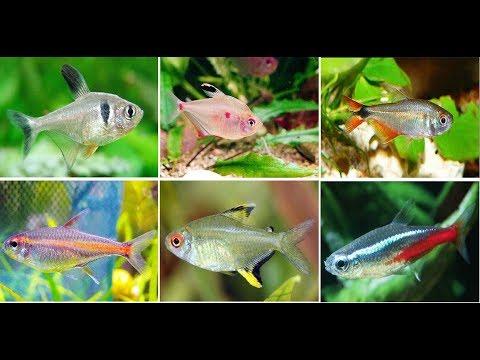 10 Most Popular Tetra Fish For Aquarium