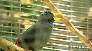 Download Full Variasi Suara Burung Jalak Rio Rio - Jalak Tunggir Merah Full Merdu Mp3