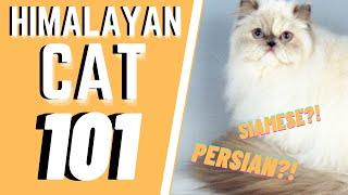 Himalayan Cat 101 : Breed & Personality