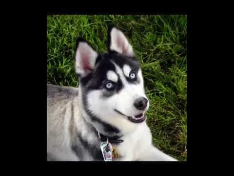 i 10 cani piu' forti del mondo (top 10) - youtube