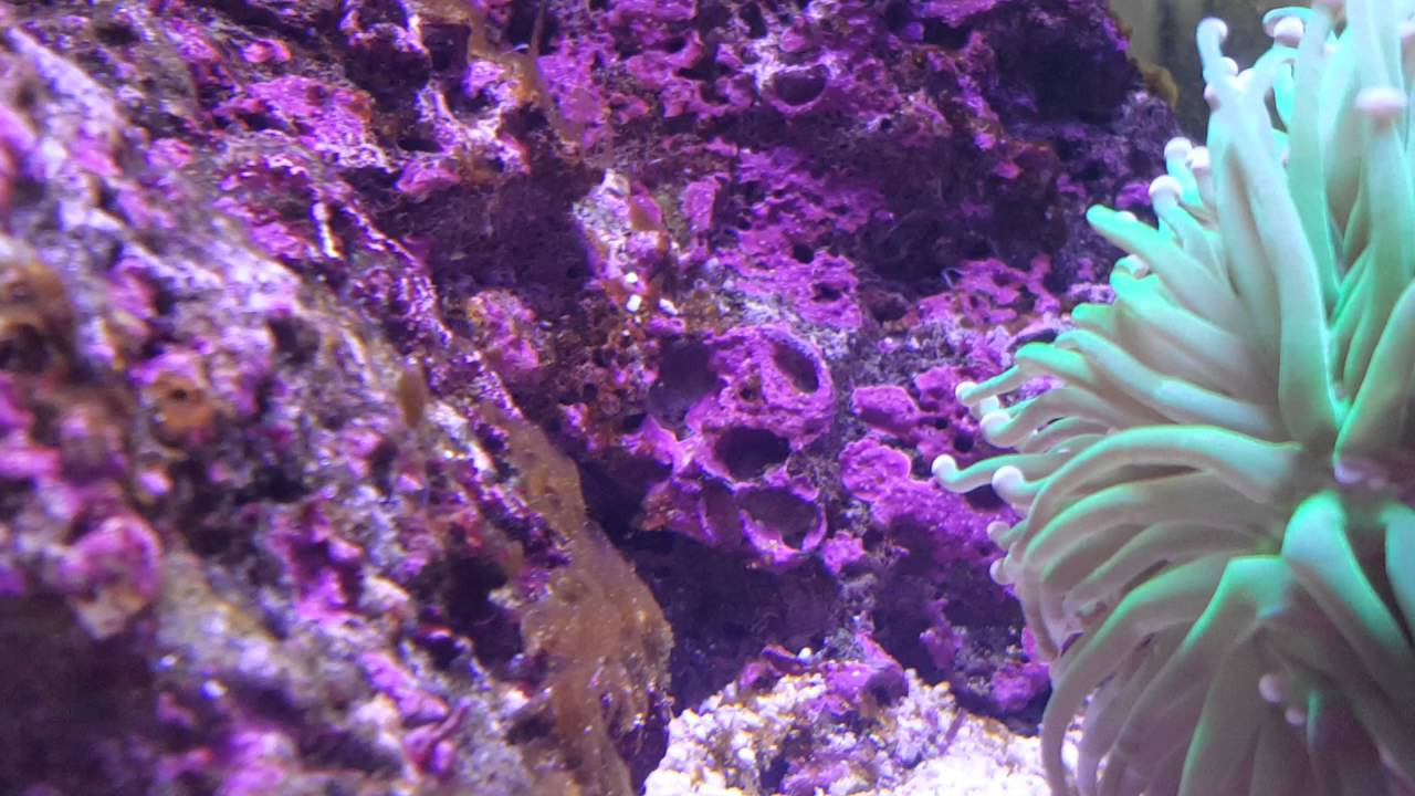 how to get rid of dinoflagellates in reef tank