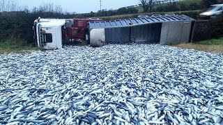 Truck Fish Accident, Have A lot of Fish On Road In Cambodia- Cambodia fishing