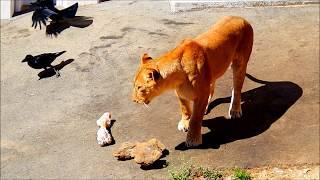 多摩動物公園(ライオン) タナのパンチ