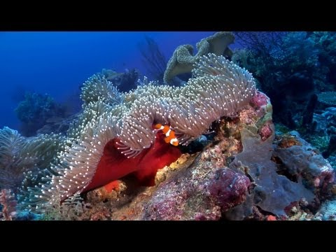 """Anemonefish: Nature's Aquarium"" DVD ~ ocean scenes & relaxation music for your TV, with clownfish"