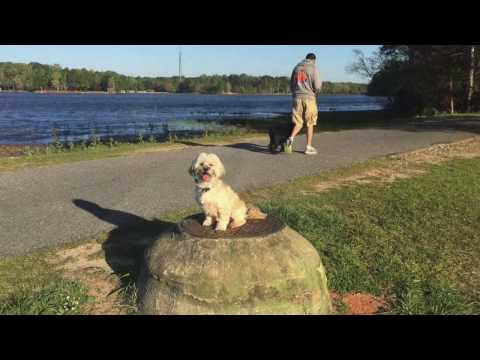 "4 Year Old Lhasa Apso ""Jewlz"" Before/After Video 