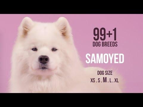 Samoyed / 99+1 Dog Breeds