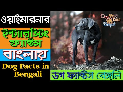 Weimaraner dog facts in Bengali | Most popular dog breeds | Dogs and Pets