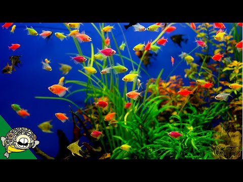 Glofish Care Guide - Aquarium Co-Op