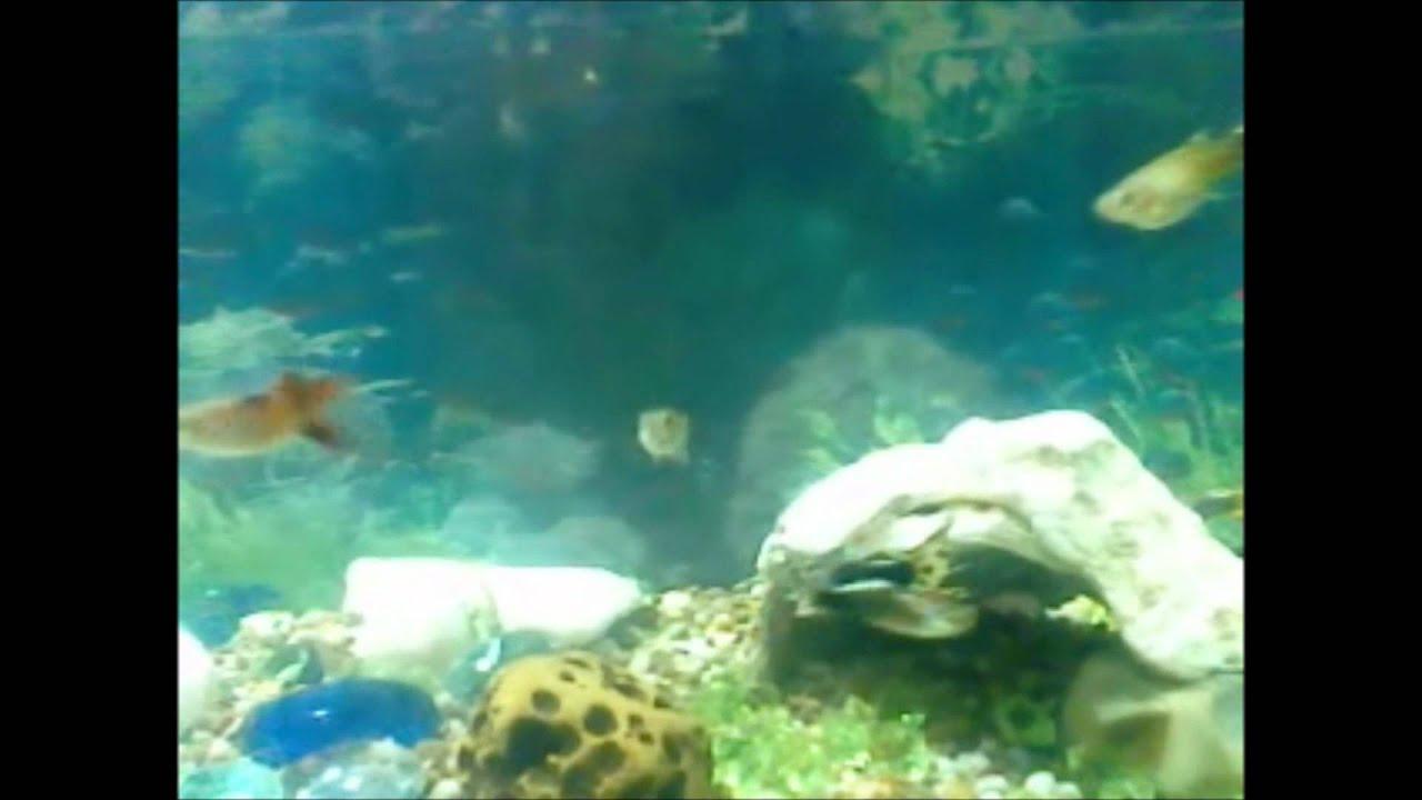 Peces guppys documental informaci n doovi for Acuariofilia peces ornamentales