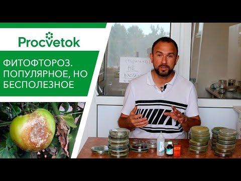 Вопрос: Как быстро возникает фитофтора на картофеле?