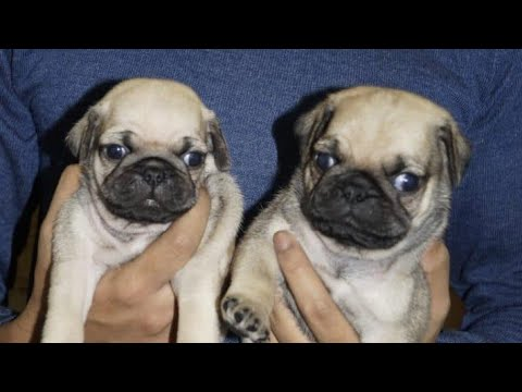 Vodafone wala Pug // 7048966925 // all type of dog breed puppies available