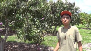 Best Mango Farm Florida