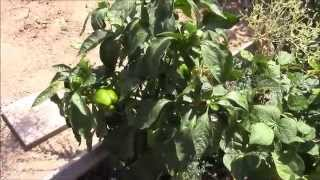 North Texas Amateur Gardening 2014 Late Summer Update