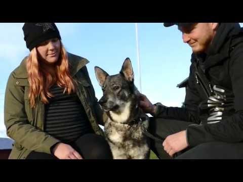 Klara – en månad efter vargattacken (Klara – one month after the wolf attack)