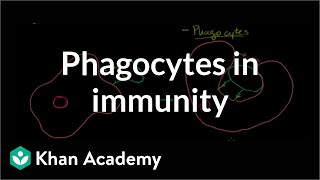 Role of Phagocytes in Innate or Nonspecific Immunity