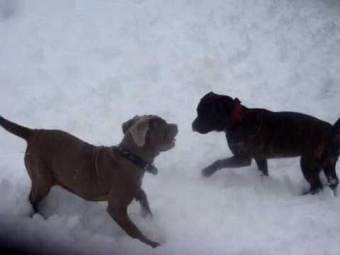 Skyla (neo Mastiff) & Prince (pitbull) At Play
