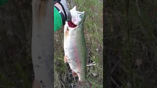 Big trout 2640gr short