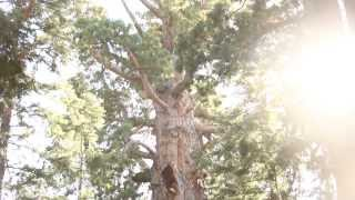 General Sherman Tree Tilting Shot II (1920x1080, 24fps) Free Creative Commons YouTube Stock Footage