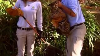 Тигрятам устроили тесты на плавание (новости)(http://www.ntdtv.ru Тигрятам устроили тесты на плавание. Прежде чем двоим тигрятам в зоопарке Вашингтона будет позв..., 2013-11-07T10:35:34.000Z)
