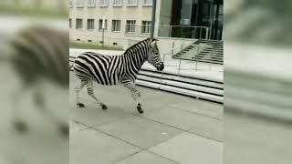 В Дрездене поймали сбежавших из цирка зебр, одна из них погибла
