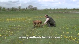 H.P.R Free Gundog tips - early stop whistle and delivery with Rory Major