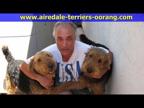 Large Airedale Terrier Breeder        #Airedaleterriers