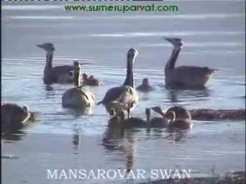MANSAROVAR SWAN VIDEO