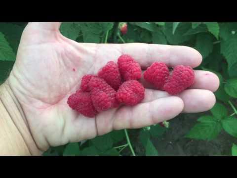 Секреты выращивания ремонтантной малины. Сорт Жар-Птица