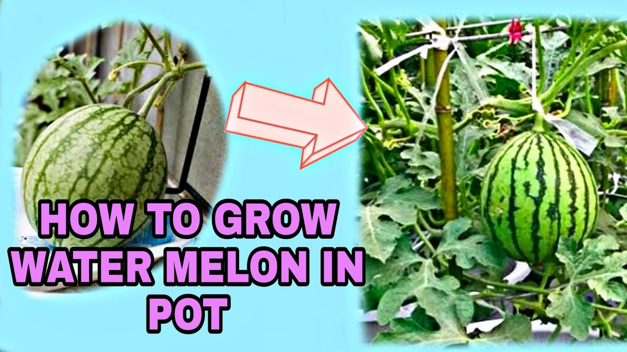 how long does it take to grow watermelon from seed