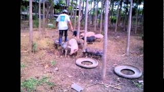 Free range  Pastured Pigs Video.wmv