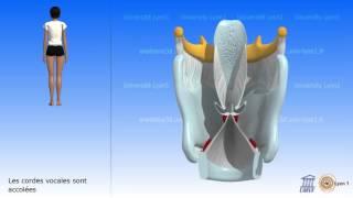 Le larynx. Les cordes vocales. Vibration des cordes vocales