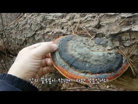 당뇨에 좋은 소나무잔나비버섯 산행기(소나�