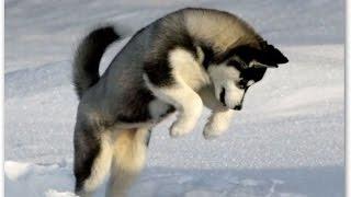 Сибирская Хаски, Дрессировка собаки