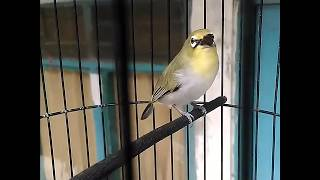 Video Pleci Buxtoni Nembak WitwitTulitulit Ngeroll Materi Lovebird,Kenari,Kapas Tembak download MP3, 3GP, MP4, WEBM, AVI, FLV November 2018