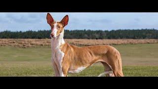 #132 IBIZAN HOUND    | Which Dog Should I Get? Dog Breed Selector