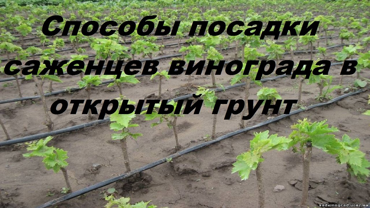 Способы посадки саженцев винограда в открытый грунт