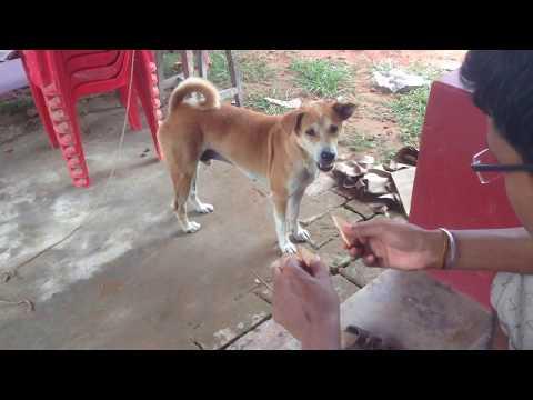 Feeding My Dog Biscuit Stray Labrador   Labra/Lab Dog Eating Biscuit.