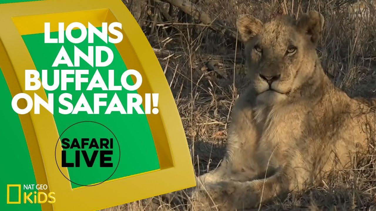Lions and Buffalo on Safari! | Safari Live