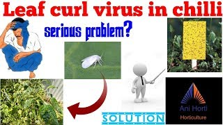 Leaf curl virus in chilli || Latest upload 2018.