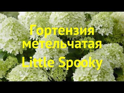 Гортензия метельчатая Литтл Спроки. Краткий обзор, описание Hydrangea Paniculata Little Spooky
