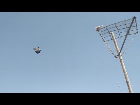 Pigeon Golden Pathe ki Uraan training video  in Urdu/Hindi.
