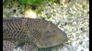 Аквариум - Аквариумные рыбки - Птеригоплихт(В отличие от парчового птеригоплихта, шоколадно-коричневое тело этого сома не имеет четко очерченных округ..., 2010-12-19T12:59:48.000Z)