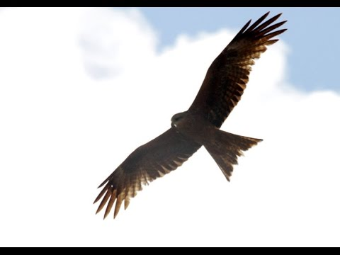Black Kite Free Fly Borneo