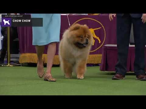 Chow Chows | Breed Judging 2020