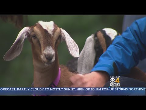 Pitts Stop: Goats Serve As Landscapers For South Shore Company