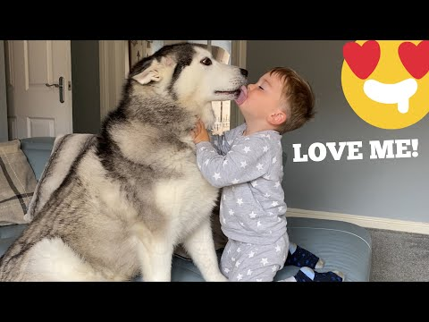 The Only Time My Baby Is Happy Is Around My Huskies!! [CUTEST VIDEO EVER!!]