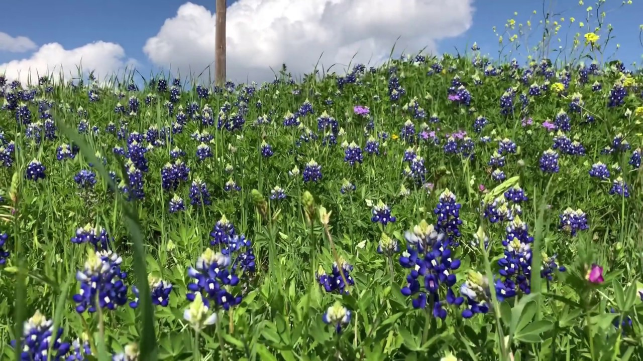 Stunning Patch Of Bluebonnets Near Ennis Texas Youtube
